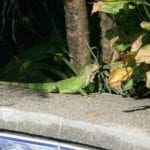 Gecko sitzt am Poolrand in Costa Rica